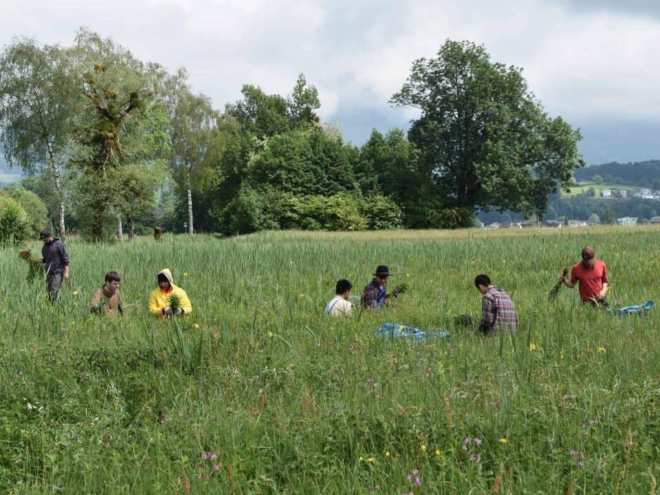 Neophytenbekämpfung Kaltbrunner Riet 2