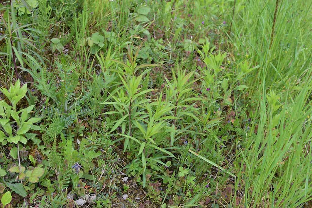 Neophytenbekämpfung Kiesgrube Girendorf, Tuggen 4